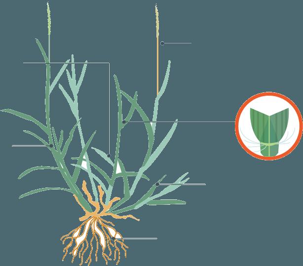 Zoysia Grass FINAL5