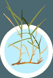 Zoysia Grass FINAL 06