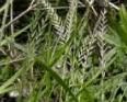 Annual Ryegrass1