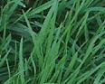Bentgrass1