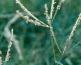 Bermuda grass1