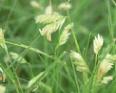 Buffalo grass1