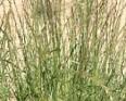 Perennial Ryegrass1
