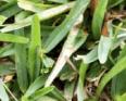 St. Augustine Grass1