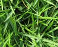 Zoysia grass1
