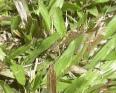 carpet grass1
